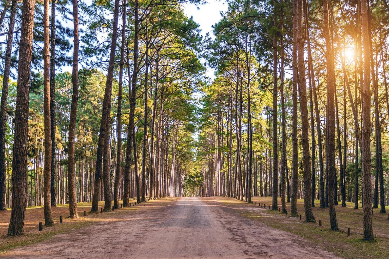 Pourquoi du bois de pin naturel